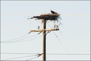 Osprey Nest Wildlife Mitigation Blog